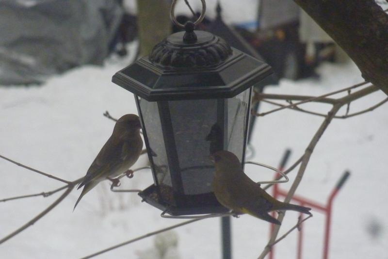 Die Grünfinken haben es auf die Hanfsamen abgesehen ...