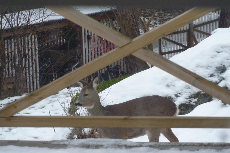 Gerade noch in Nachbars Garten, ein paar Sekunden später ist es auch schon mit seinen Kollegen über den Zaun zu uns gesprungen.